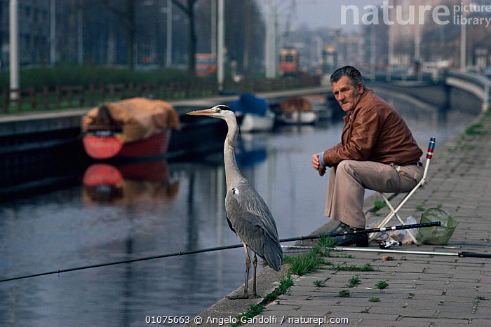 Grey heron {Ardea cinerea} beside  fisherman on canal, Netherlands  ,  BIRDS,CANALS,CITIES,EUROPE,FISHING,HERONS,HOLLAND,HORIZONTAL,LEISURE,MAN,PEOPLE,RIVERS,URBAN,VERTEBRATES,WADING BIRDS  ,  Angelo Gandolfi