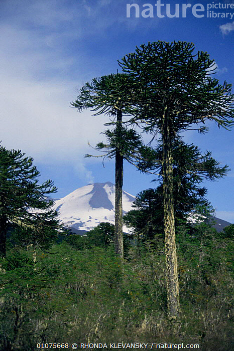Monkey puzzle tree {Araucaria araucana} with Llaima volcano Conguillo NP, Chile  ,  VOLCANOES,SNOW,LANDSCAPES,RESERVE,CONIFEROUS,SOUTH AMERICA,TREES,Geology,Plants  ,  RHONDA KLEVANSKY