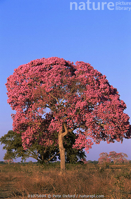 Rosy trumpet tree {Handroanthus heptaphyllus} in bloom in mid August. Pantanal, Brazil  ,  BIGNONIACEAE, DICOTYLEDONS, FLOWERS, LANDSCAPES, PINK, PLANTS, SOUTH-AMERICA, SUMMER, TREES, VERTICAL  ,  Pete Oxford