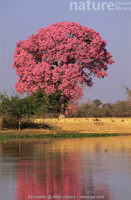 Rosy trumpet tree {Handroanthus heptaphyllus} in bloom in mid August. Pantanal, Brazil  ,  BIGNONIACEAE, DICOTYLEDONS, FLOWERS, LANDSCAPES, PINK, PLANTS, REFLECTIONS, SOUTH-AMERICA, SUMMER, TREES, VERTICAL, WATER  ,  Pete Oxford