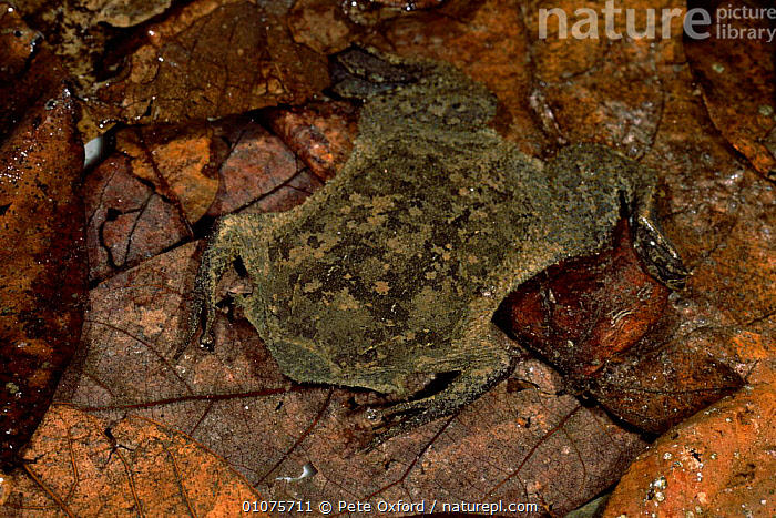 Surinam toad {Pipa pipa} on ground litter, Amazon Forest, Ecuador, South America  ,  AMPHIBIANS,CAMOUFLAGE,TROPICAL RAINFOREST,TOADS,LEAVES,SOUTH AMERICA,Anura,SOUTH-AMERICA  ,  Pete Oxford