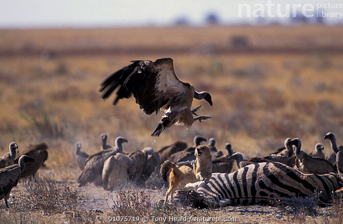 Black backed jackal {Canis mesomelas} chasing vultures at kill. Estosha NP, Namibia  ,  AGGRESSION,MIXED SPECIES,SOUTHERN AFRICA,ACTION,AFRICA,CARNIVORES,DEFENSIVE,DOGS,FOOD,RESERVE,SCAVENGING,COMPETITION,FEEDING,KILL,MAMMALS,ZEBRA,CONCEPTS,BEHAVIOUR,CANIDS  ,  Tony Heald