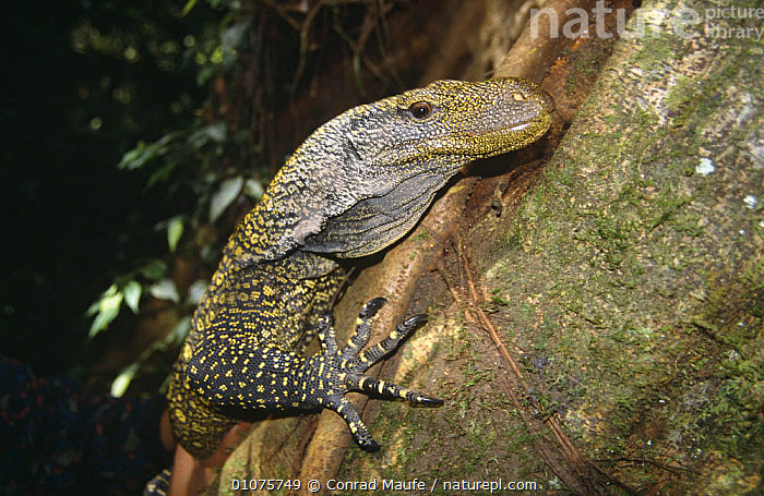 Papuan monitor climbing tree {Varanus salvadorii} captive  ,  CLIMBING,LIZARDS,MONITOR LIZARDS,PAPUA NEW GUINEA,REPTILES,SOUTH EAST ASIA,TREES,TROPICAL,VERTEBRATES,Asia,Plants, Monitors  ,  Conrad Maufe
