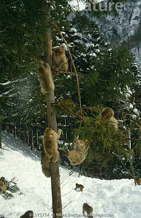 Japanese macaques {Macaca fuscata} juveniles playing in tree in snow, Honshu, Japan  ,  BEHAVIOUR,GROUPS,JAPAN,JUVENILE,MACAQUE,MACAQUES,MAMMALS,MONKEYS,PLAY,PRIMATES,TREES,VERTEBRATES,VERTICAL,WINTER,Asia,Plants,Communication  ,  Miles Barton