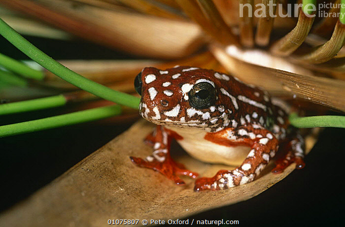 Marbled reed frog {Hyperolius marmoratus} on leaf, Okavango Delta, Botswana  ,  AFRICA,AMPHIBIANS,ANURA,FROGS,HORIZONTAL,LEAVES,PORTRAITS,REED FROGS,SOUTHERN AFRICA,VERTEBRATES,WATER,WETLANDS  ,  Pete Oxford