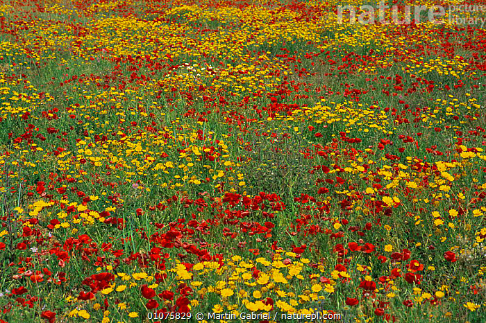Wildflower meadow with Poppies {Papaver sp}  and Chrysanthemums, Majorca, Balearic Islands  ,  COLOURFUL,EUROPE,FLOWERS,MIXED SPECIES,PLANTS,SPAIN,SPRING  ,  Martin Gabriel