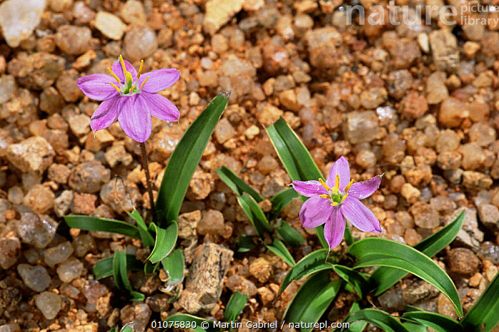 Desert lilies in flower in rainy season, Namib desert, Namibia  ,  AFRICA,DESERTS,FLOWERS,PLANTS,PURPLE,SOUTHERN AFRICA  ,  Martin Gabriel