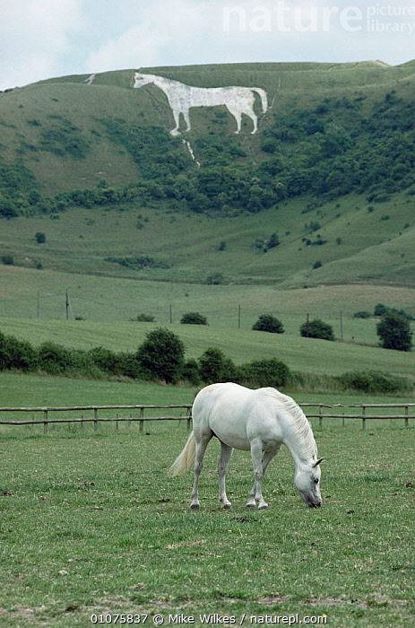 White horse grazing in front of Westbury White Horse. Wiltshire, UK  ,  ARTIODACTYLA,DOWNLAND,ENGLAND,EUROPE,GRASSLAND,LANDSCAPES,MAMMALS,PETS,UK,VERTICAL,United Kingdom,British,GettyBOV  ,  Mike Wilkes