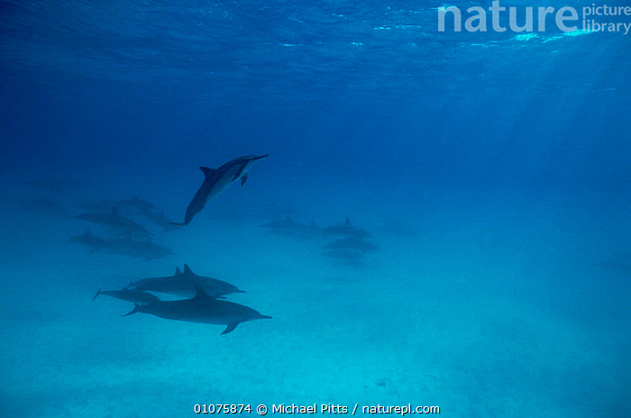 Spinner dolphins {Stenella longirostris} Midway Is, Pacific ocean  ,  CETACEANS,DOLPHINS,GROUPS,HORIZONTAL,MAMMALS,MARINE,OCEANIA,PACIFIC OCEAN,RAYS,UNDERWATER,VERTEBRATES, Mammals  ,  Michael Pitts