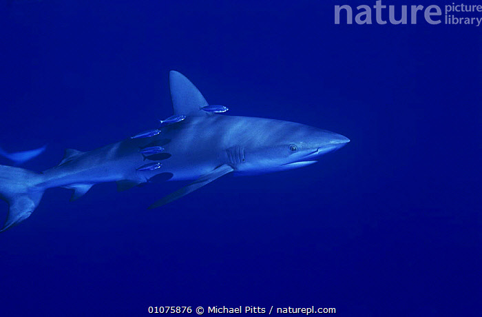 Galapagos shark {Carcharhinus galapagensis} with small fish swimming alongside, Midway Is, Pacific ocean  ,  BLUE,CHONDRICHTHYES,FISH,GALAPAGOS,MARINE,MIXED SPECIES,OCEANIA,PACIFIC OCEAN,PORTRAITS,SHARKS,TROPICAL,UNDERWATER,VERTEBRATES  ,  Michael Pitts