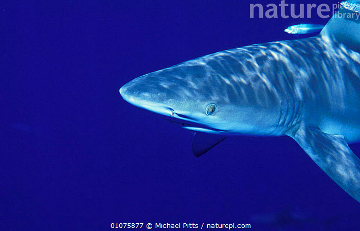 Galapagos shark head portrait {Carcharhinus galapagensis} Midway Is, Pacific ocean  ,  MARINE,TROPICAL,FISH,PORTRAITS,SHARKS,PACIFIC OCEAN,UNDERWATER,SOUTH-AMERICA, Fish  ,  Michael Pitts
