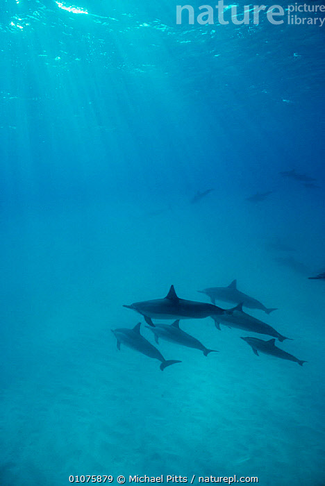 Spinner dolphins {Stenella longirostris} Midway Is, Pacific ocean  ,  CETACEANS,DOLPHINS,GROUPS,MAMMALS,MARINE,OCEANIA,PACIFIC OCEAN,RAYS,UNDERWATER,VERTEBRATES, Mammals  ,  Michael Pitts