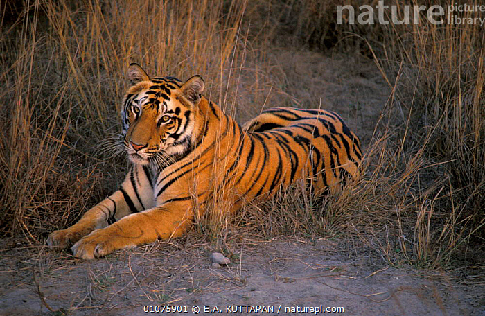Bacchi's male cub at 20 - 22 months {Panthera tigris tigris} Bandhavgarh NP, MP, India  ,  PARK,PRADESH,STRIPES,BIG CATS,FACES,FEBRUARY,GRASS,HEADS,JUVENILE,CARNIVORES,ENDANGERED,INDIAN SUBCONTINENT,MADHYA,MALES,MAMMALS,NATIONAL,PORTRAITS,YOUNG,ASIA,PLANTS,TIGERS  ,  E.A. KUTTAPAN