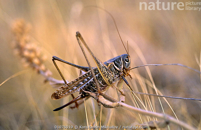 Wart biter cricket (Decticus verrucivorus) Ukraine, Russia  ,  GRASSHOPPERS, INSECTS, INVERTEBRATES, LONG-HORNED-GRASSHOPPERS, ORTHOPTERA, PROFILE, RUSSIA  ,  Konstantin Mikhailov