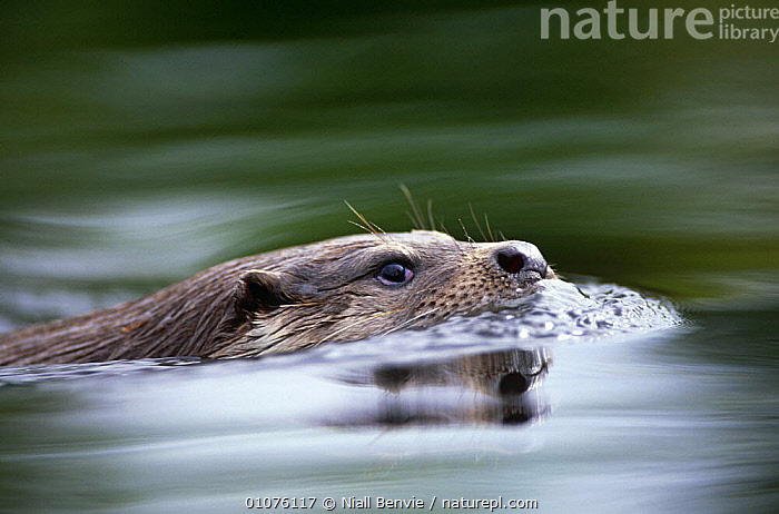 European river otter swimming {Lutra lutra}, Otterpark Aqualutra, Leeuwarden, Netherlands  ,  AQUATIC,CARNIVORES,EUROPE,FACES,FRESHWATER,HEADS,MAMMALS,MUSTELIDS,OTTERS,PORTRAITS,SURFACE,SWIMMING,VERTEBRATES,WATER,Catalogue1  ,  Niall Benvie