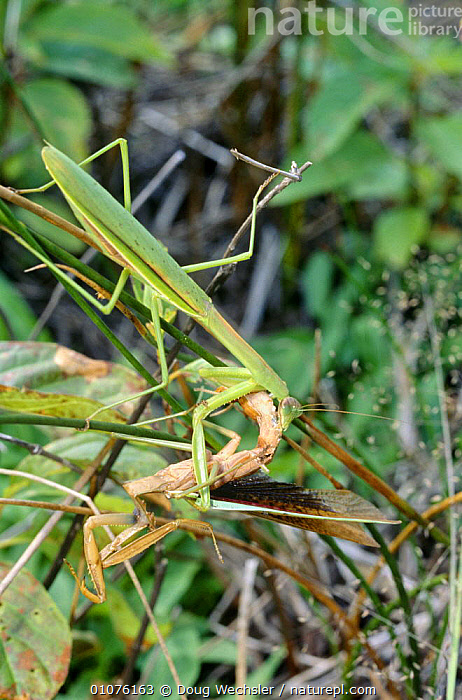 Chinese mantids, male attacking male (Tenodera aridifolia) Bennett's Bog, New Jersey, USA  ,  AGGRESSION,AGGRESSIVE,ARTHROPODS,COMPETITION,FIGHTING,INSECTS,INVERTEBRATES,LEGS,MALES,MANTIDS,MANTODEA,NORTH AMERICA,TWO,USA,VERTICAL,Concepts  ,  Doug Wechsler