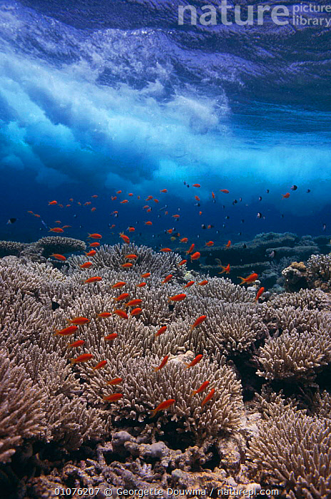 Coral reef scenic with Anthias fish {Pseudanthias squamipinnis} Egypt, Red Sea  ,  ANTHOZOANS,CNIDARIA,CORAL REEFS,CORALS,EGYPT,FISH,GD,GEORGETTE,INVERTEBRATES,MARINE,MIDDLE EAST,OUTSTANDING,SCENIC,SEA,TROPICAL,UNDERWATER,WATER,WAVES, Cnidaria,NORTH-AFRICA, Cnidaria,Africa, Cnidaria  ,  Georgette Douwma
