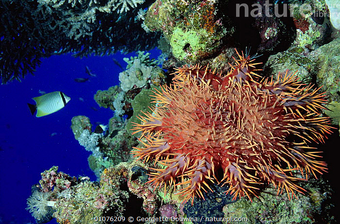 Crown of thorns starfish {Acanthaster planci} Red Sea, Egypt  ,  ASTEROIDEA,CORAL REEFS,ECHINODERMS,FISH,INVERTEBRATES,MARINE,RED SEA,SEA STARS,STARFISH,STARS,THORNS,TROPICAL,UNDERWATER, Starfish  ,  Georgette Douwma