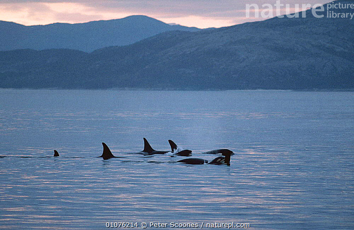 Killer whale pod {Orcinus orca} surfacing in fjord, Tysford, Norway  ,  CETACEANS,COASTAL WATERS,DOLPHINS,DORSAL,EUROPE,FAMILIES,FINS,FJORDLAND,GROUPS,MAMMALS,NORWAY,PODS,SURFACE,SWIMMING,VERTEBRATES,WATER,Scandinavia  ,  Peter Scoones