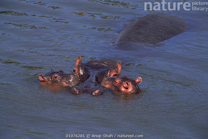 Hippopotamus with young in water, Kenya  ,  AFRICA,ANUP,AS,BABIES,CUTE,EAST AFRICA,FAMILIES,HIPPO,HORIZONTAL,KENYA,MAMMALS,MARA,RIVERS,SHAH,TWO,WATER,YOUNG  ,  Anup Shah