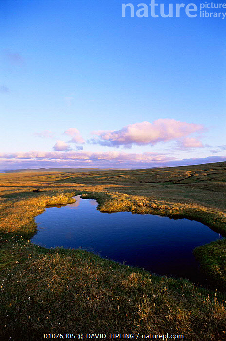 Blanket bog, Hermaness NNR, Unst, Shetland Is, Scotland, UK  ,  BOGS,EUROPE,LANDSCAPES,RESERVE,SCOTLAND,SUMMER,UK,VERTICAL,WETLANDS,United Kingdom,British  ,  DAVID TIPLING