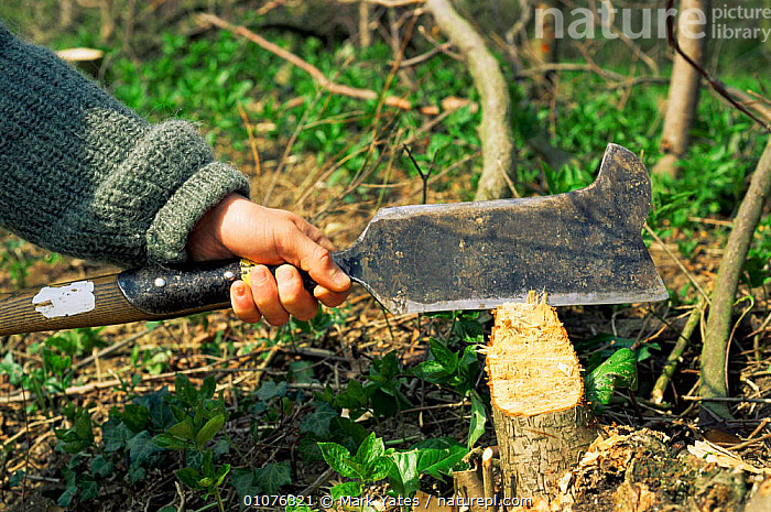 Bill hook used to trim 'pleachers' - woodland trees that are cut down. UK  ,  EUROPE,FORESTRY,PEOPLE,TRADITIONAL,TREES,UK,WOODLANDS,United Kingdom,Plants,British  ,  Mark Yates
