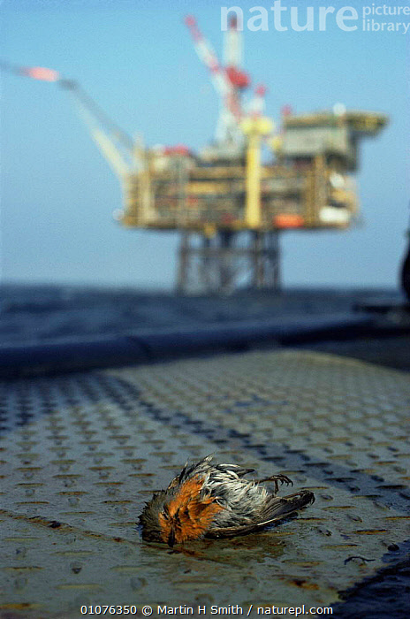 Robin {Erithacus rubecula} dead from exhaustion on oil rig supply ship, North Sea.  ,  BIRDS,BOATS,DEATH,FLYCATCHERS,MIGRATION,VERTEBRATES,VERTICAL  ,  Martin H Smith