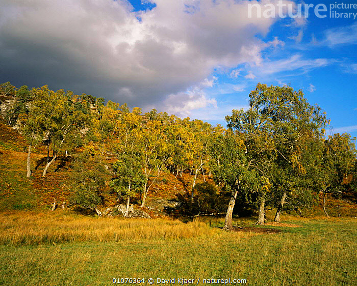 Autumn moorland landscape with Birch trees  {Betula verrucosa} Glen Strathfarrar, Scotland, UK  ,  AUTUMN,Birch,BROADLEAF,EUROPE,HABITAT,HEATHLAND,LANDSCAPES,MOORLAND,SCOTLAND,TREES,UK,WOODLANDS,United Kingdom,Plants,British  ,  David Kjaer