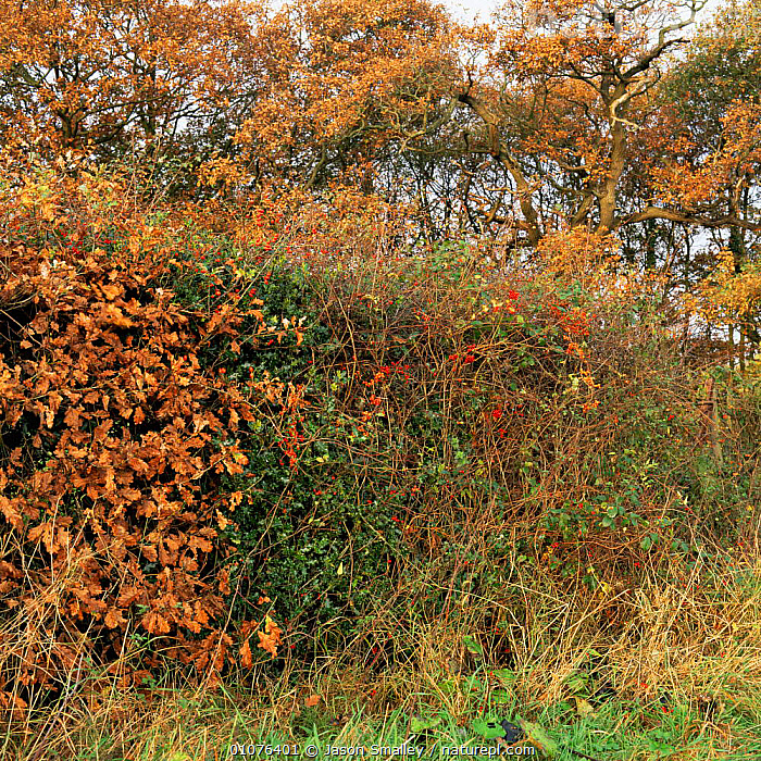 Guelder rose, Holly, Black bryony, Black nightshade, Hawthorn, Rosehips growing in ancient hedgerow, UK.  ,  AUTUMN,ENGLAND,EUROPE,FRUIT,HEDGEROWS,HORIZONTAL,MIXED SPECIES,PLANTS,UK,VERTICAL,United Kingdom,British  ,  Jason Smalley