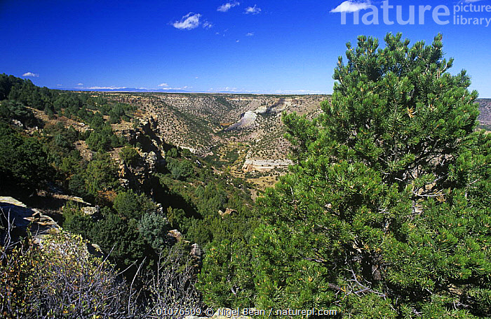 Pinyon pine and Juniper forest in canyon, New Mexico, USA. Habitat of the Pinyon jay {Gymnorhinus cyanocephala}, vulnerable species  ,  CONIFERS,CUPRESSACEAE,ENDANGERED,GYMNOSPERMS,HABITAT,LANDSCAPES,PLANTS,USA,North America  ,  Nigel Bean