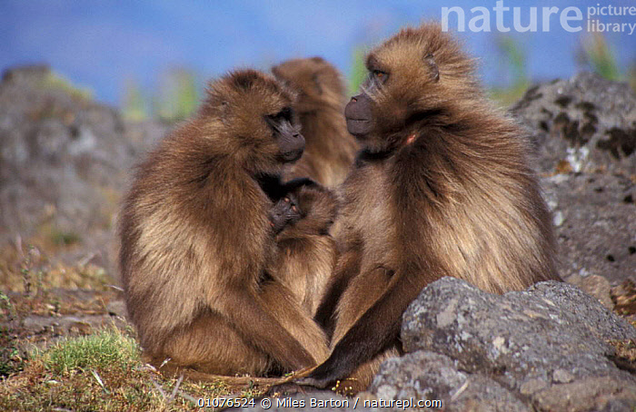 Gelada baboons, harem male with female + young {Theropithecus gelada}, Simien Mtns, Ethiopia,  ,  MAMMALS,HORIZONTAL,FAMILIES,GROUPS,BEHAVIOUR,AFRICA,EAST AFRICA,SOCIAL BEHAVIOUR,SOCIAL,PRIMATES,MONKEYS  ,  Miles Barton