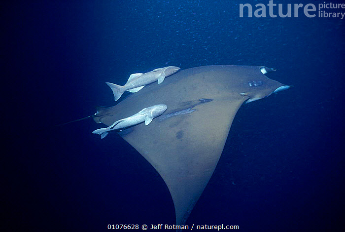 Manta ray {Manta hamiltoni} with Remora fish, Cocos Is, Costa Rica  ,  CHONDRICHTHYES, FISH, HORIZONTAL, MARINE, RAYS, UNDERWATER, VERTEBRATES  ,  Jeff Rotman