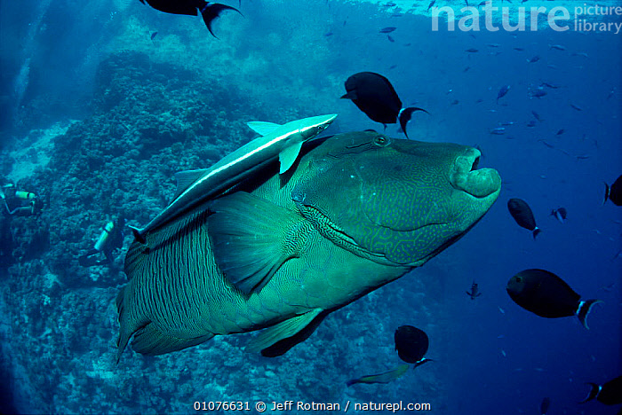 Humphead / Napoleon wrasse {Cheilinus undulatus} with Remora {Echeneis naucrates} Red Sea  ,  FISH,HORIZONTAL,JR,MARINE,MIXED SPECIES,RED,SEA,REMORA,SIZE,TROPICAL,UNDERWATER  ,  Jeff Rotman