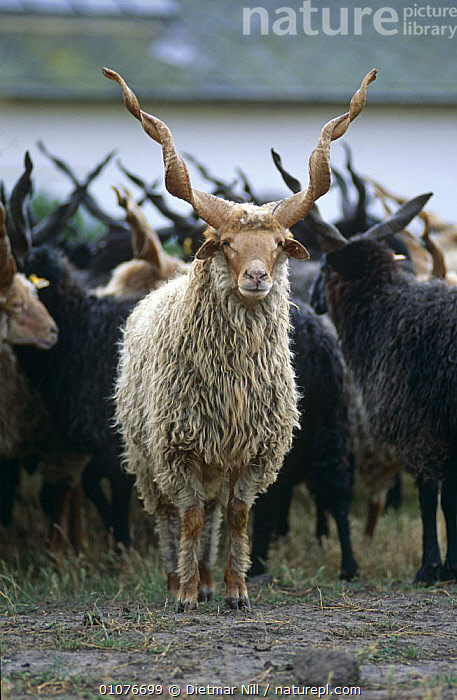 Racka breed sheep with spiral horns {Ovis aries} Hungary. In this breed both males and females have long spiral horns.  ,  ARTIODACTYLA,BOVIDS,EUROPE,GROUPS,HERDS,HORNS,HUNGARY,LIVESTOCK,MAMMALS,SHEEP,VERTEBRATES,VERTICAL,Goats,Antelopes  ,  Dietmar Nill