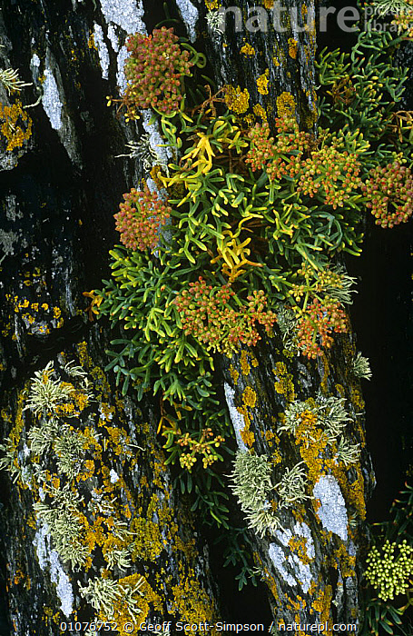 Rock samphire {Crithmum maritimum} and Lichen on rocks Gwynned, Wales, UK  ,  APIACEAE,COASTS,DICOTYLEDONS,EUROPE,HORIZONTAL,MIXED SPECIES,PLANTS,ROCKS,UK,UMBELLIFERAE,WALES,United Kingdom,British  ,  Geoff Scott-Simpson