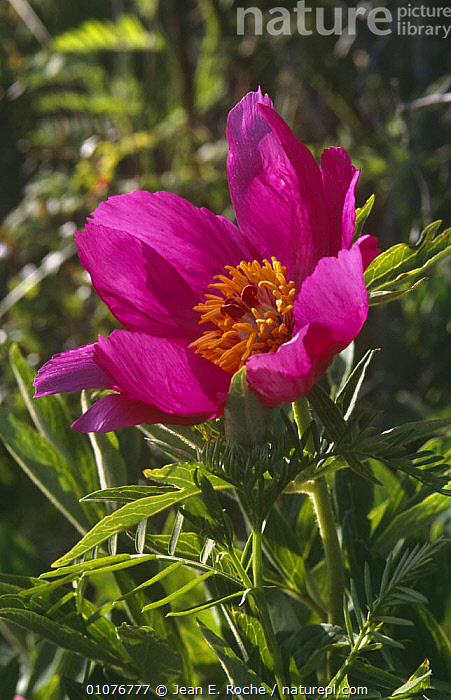Wild paeony {Paeonia mascula} flower Provence, France  ,  DICOTYLEDONS, EUROPE, FLOWERS, FRANCE, PAEONIACEAE, PLANTS, PURPLE, VERTICAL  ,  Jean E. Roche