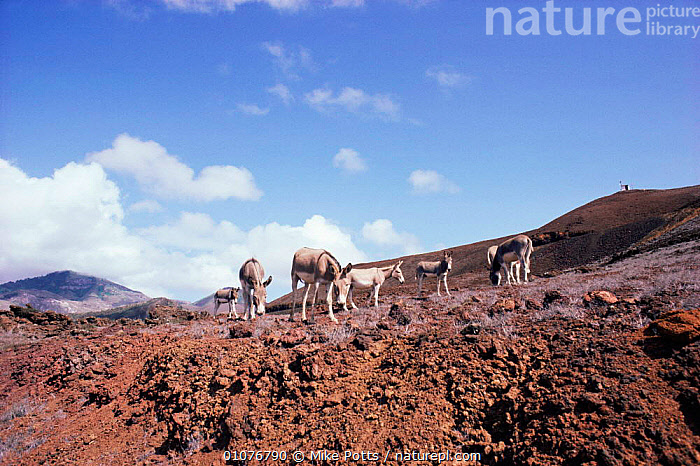 Feral Donkeys on Ascension Island, South Atlantic. Donkeys introduced by sailors, now feral. 1987  ,  ANTARCTICA,ATLANTIC,FERAL,GROUPS,HERDS,INTRODUCED,LANDSCAPES,LIVESTOCK,MAMMALS,SOUTH ATLANTIC ISLANDS,VOLCANIC,Marine  ,  Mike Potts