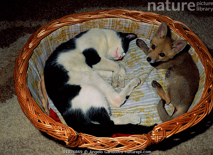 Red fox cub {Vulpes vulpes} and Domestic cat {Felis catus} sharing basket. Europe  ,  HORIZONTAL,MAMMALS,PETS,MIXED SPECIES,FELIS,FOXES,FRIENDS,FRIENDSHIP,CATUS,CUTE,BASKET,CARNIVORES,Concepts,Dogs,Canids  ,  Angelo Gandolfi
