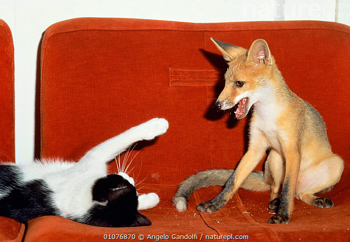 Red fox cub {Vulpes vulpes} playing with Domestic cat. Italy  ,  CARNIVORES,CAT,BASKET,CUTE,CATUS,FOXES,FELIS,EUROPE,MIXED SPECIES,PETS,PLAY,MAMMALS,HORIZONTAL,Communication,Dogs,Canids  ,  Angelo Gandolfi