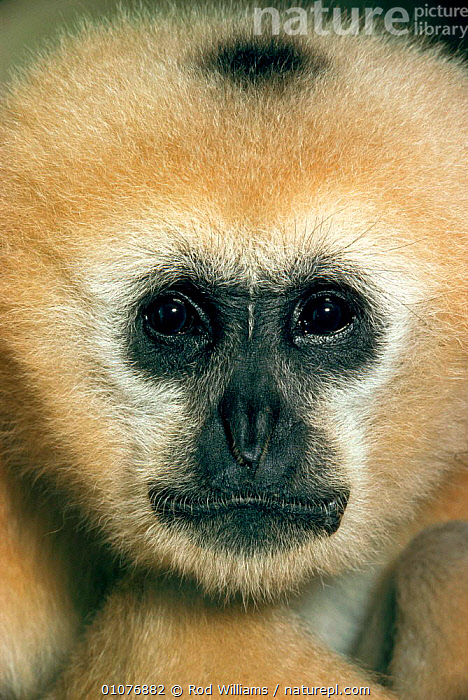 Face portrait of female Black gibbon, occurs SE Asia  ,  APES,ASIA,CAPTIVE,ENDANGERED,FACE,FACES,FEMALE,GIBBONS,HEADS,MAMMALS,OCCURS,PORTRAIT,PRIMATES,ROD,RWI,SOUTH EAST ASIA,THREATENED,VERTICAL,VIETNAM,WILLIAMS  ,  Rod Williams