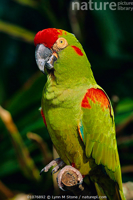 Red fronted macaw portrait {Ara rubrogenys} Endangered species, captive  ,  HEADS,PORTRAITS,1998,USA,PARROTS,THREATENED,BIRDS,North America  ,  Lynn M Stone