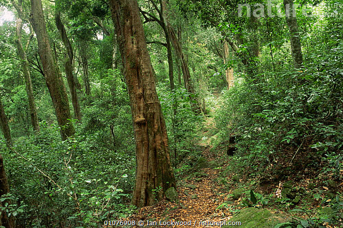 Path through Shola tropical rainforest, indigenous forest habitat, Palni Hills, Western Ghats, Tamil Nadu, Southern India  ,  ASIA,GREEN,HABITAT,HIGHLANDS,INDIAN SUBCONTINENT,LANDSCAPES,lush,TREES,tropical rainforest,Plants,INDIAN-SUBCONTINENT  ,  Ian Lockwood