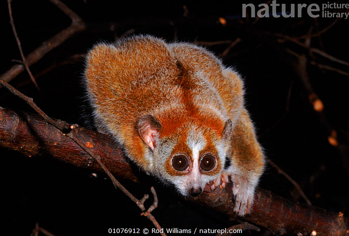 Young Pygmy slow loris, occurs China, Vietnam & Laos  ,  ASIA,CHINA,CUTE,ENDANGERED,EYES,FACES,HEADS,HORIZONAL,JUVENILE,LAOS,MAMMALS,OCCURS,PRIMATES,ROD,RWI,SOUTH EAST ASIA,SPECIES,THREATENED,VIETNAM,WILLIAMS  ,  Rod Williams