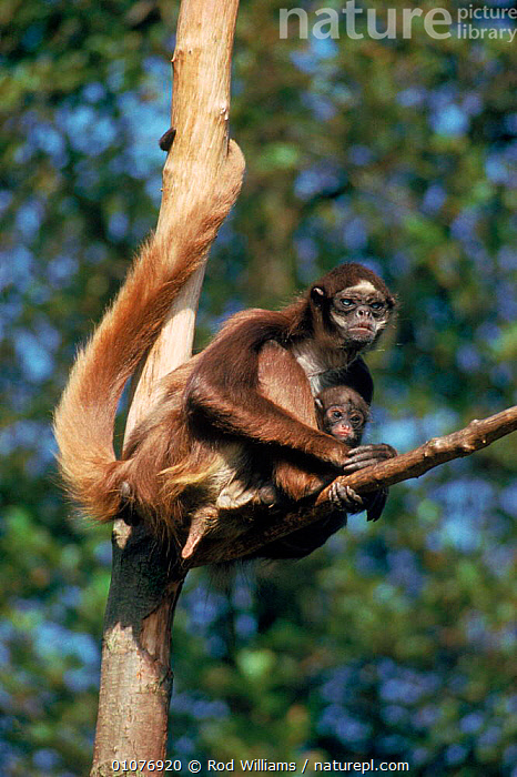Mother & young Marimonda spider monkey, occurs S America  ,  CAPTIVE,ENDANGERED,FAMILIES,MAMMALS,MONKEYS,MOTHER,PRIMATES,ROD,RWI,SOUTH AMERICA,THREATENED,VERTICAL,WILLIAMS  ,  Rod Williams
