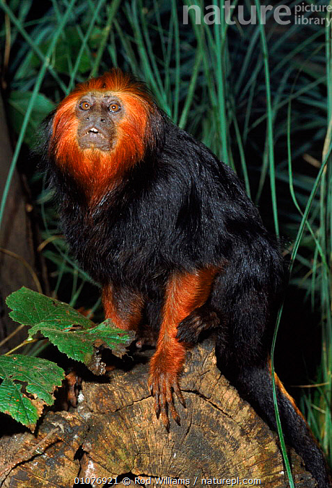 Male Golden headed lion tamarin - endangered species occurs Bahia, Brazil  ,  BAHIA,BRAZIL,CAPTIVE,ENDANGERED,MALE,MALES,MAMMALS,PRIMATES,ROD,SOUTH AMERICA,THREATENED,VERTICAL,WILLIAMS,MARMOSETS  ,  Rod Williams