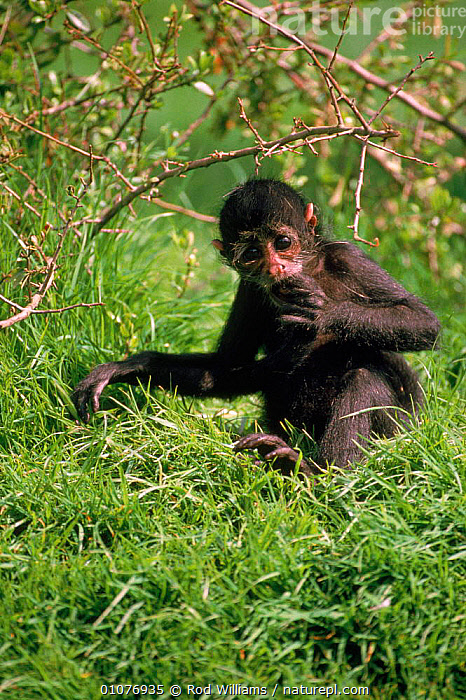 Colombian black spider monkey, vulnerable species native to Colombia & Panama  ,  BLACK,CAPTIVE,CENTRAL AMERICA,COLOMBIA,ENDANGERED,FEMALE,JUVENILE,MAMMALS,MONKEY,PANAMA,PRIMATES,ROD,SOUTH AMERICA,THREATENED,VERTICAL,VULNERABLE,WILLIAMS  ,  Rod Williams