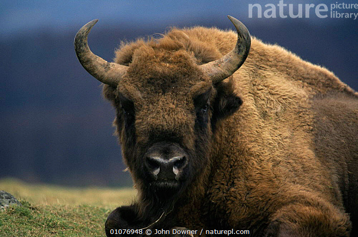 European bison resting portrait {Bison bonasus} Europe  ,  ARTIODACTYLA,BOVIDS,CLOSE UPS,EUROPE,FACES,HORNS,MAMMALS,NP,POLAND,PORTRAITS,VERTEBRATES,National Park,Cattle  ,  John Downer