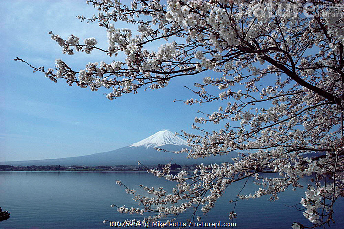 Mount Fuji viewed through Cherry tree in blossom, Japan.  ,  ASIA,FLOWERS,HORIZONTAL,JAPAN,LANDSCAPES,MOUNTAINS,PEACEFUL,PLANTS,TREES,Concepts  ,  Mike Potts