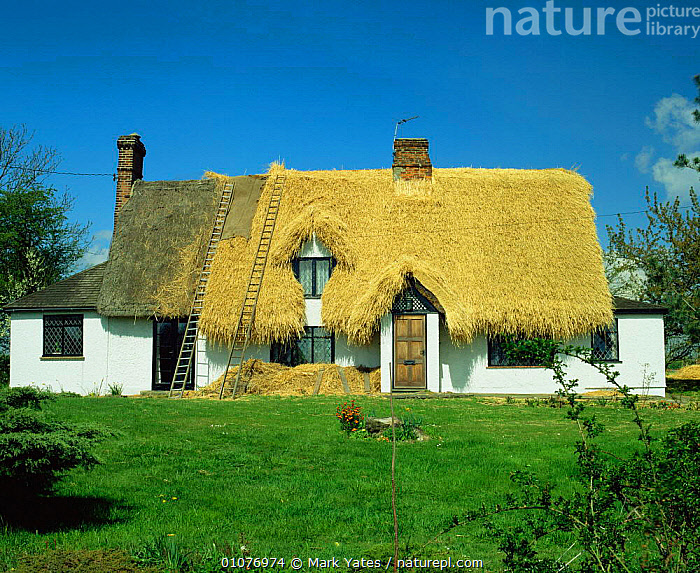 Cottage roof being thatched, Essex, UK.  ,  BUILDINGS,construction,ENGLAND,EUROPE,HORIZONTAL,houses,rooves,thatching,TRADITIONAL,UK,United Kingdom,British  ,  Mark Yates