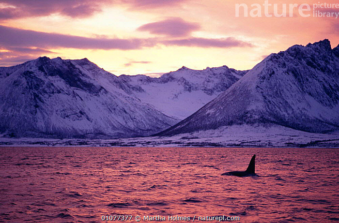 Male Killer whale {Orcinus orca} at surface, Tysfjord mountains, sunset, Autumn, Norway  ,  COASTS,EUROPE,LANDSCAPES,MALE,MAMMALS,MARINE,MOUNTAINS,NORWAY,OUTSTANDING,SCANDINAVIA,SEA,SUNSET  ,  Martha Holmes